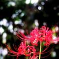 赤い彼岸花
