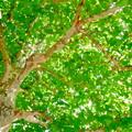 写真: 秋の楓