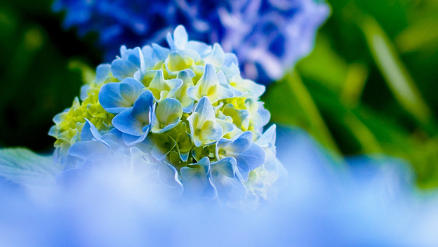 写真: 青霞の・・・紫陽花