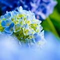 青霞の・・・紫陽花