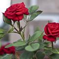 写真: 情熱の赤い薔薇