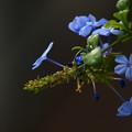 写真: sugar blue