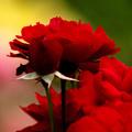 写真: 真紅の薔薇