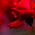 写真: 薔薇とは