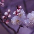 Photos: 梅花3-3