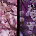 Photos: しだれ梅4-7
