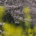サクラに菜の花2