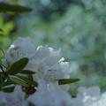 石楠花3-4