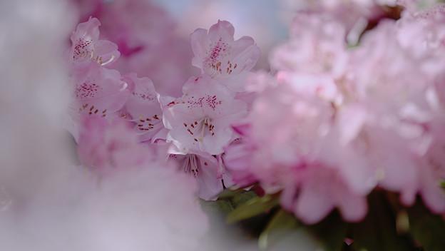 石楠花4-3