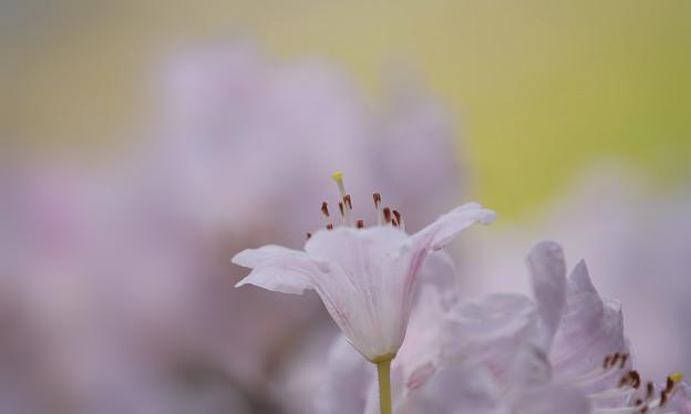 石楠花4-5