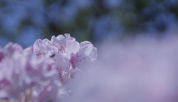 石楠花4-7
