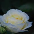 春バラ2-2