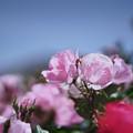 春バラ3-4
