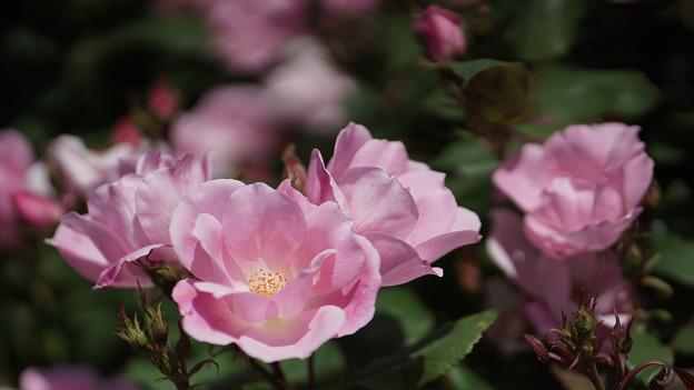 春バラ4-4