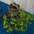 小品盆栽展1-6