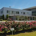 写真: 春バラ5-1