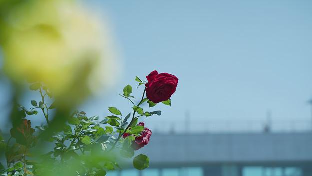 春バラ5-5