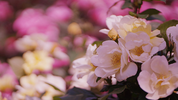 春バラ5-6