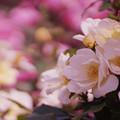 写真: 春バラ5-6