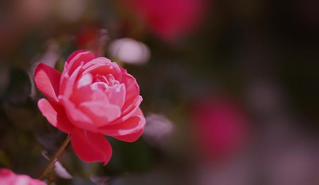 春バラ6-2