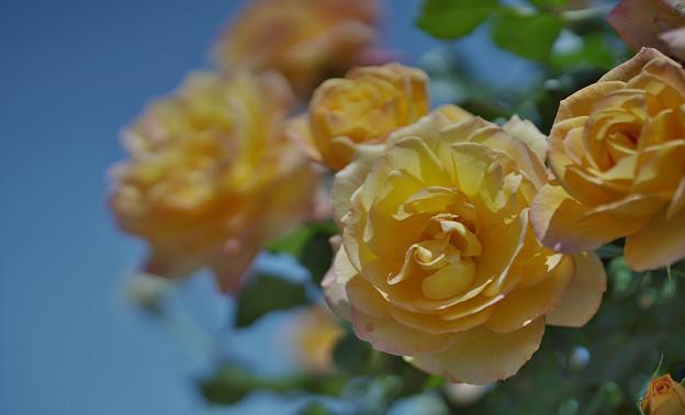 春バラ6-5