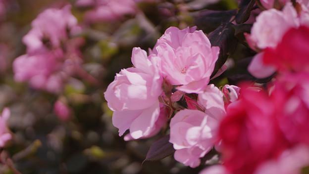 春バラ6-6