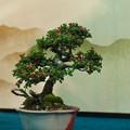 写真: 小品盆栽展3-3