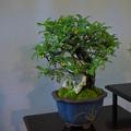 小品盆栽展3-5