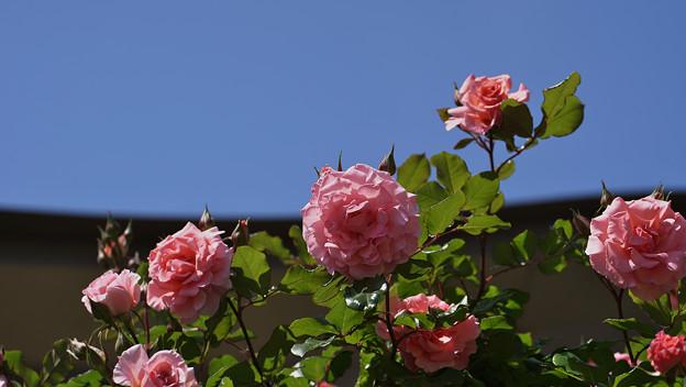 春バラ8-3
