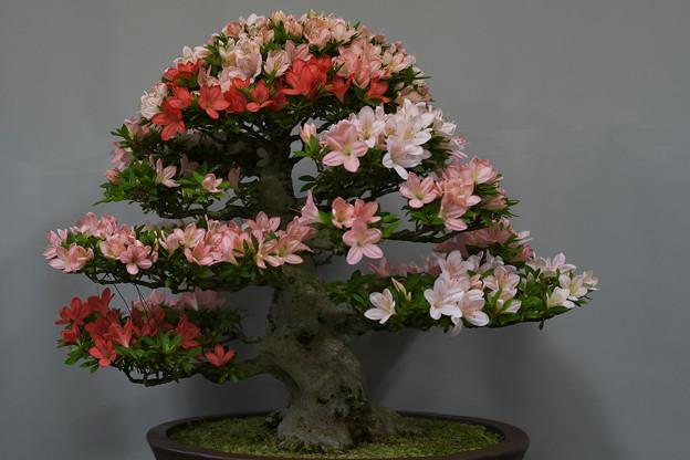 サツキ盆栽展1-