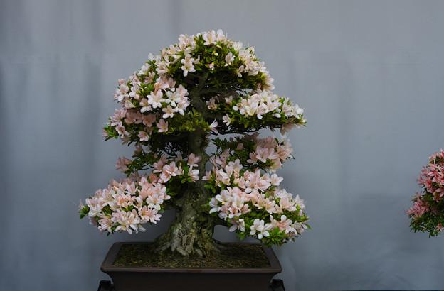 サツキ盆栽展1-2