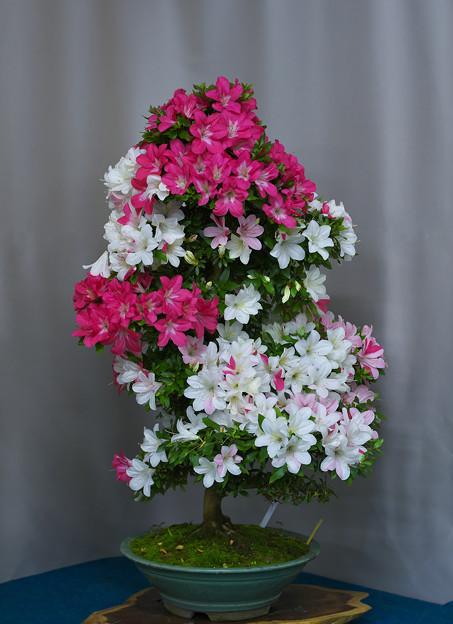 サツキ盆栽展1-3