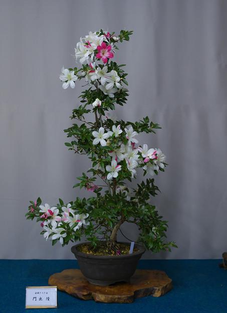 サツキ盆栽展1-4