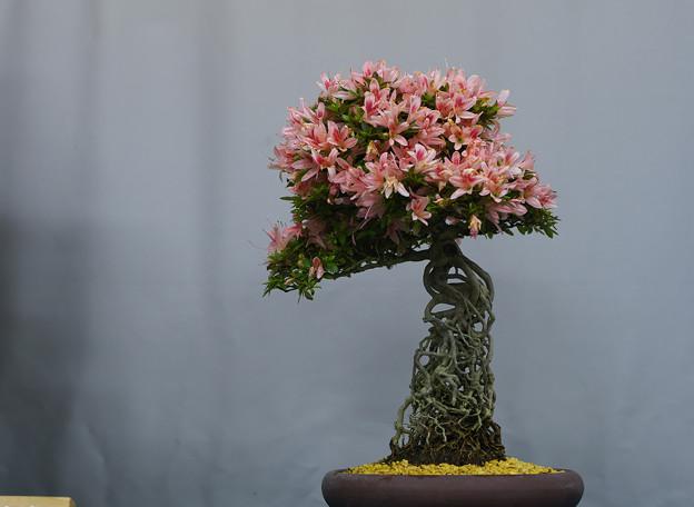 サツキ盆栽展1-5