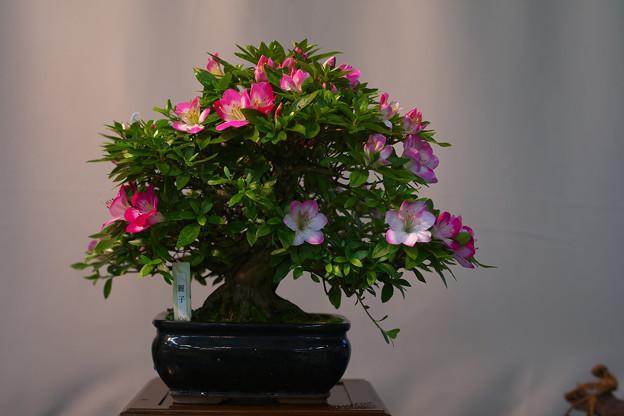 サツキ盆栽展2-5