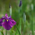 写真: 花菖蒲3-4(小 紫)