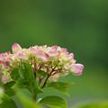 写真: 紫陽花5-1