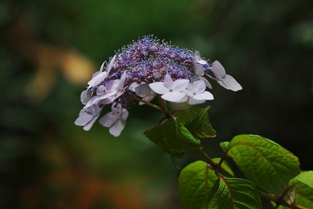写真: 紫陽花5-4