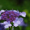 写真: 紫陽花5-5