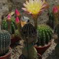写真: サボテンの花19-1