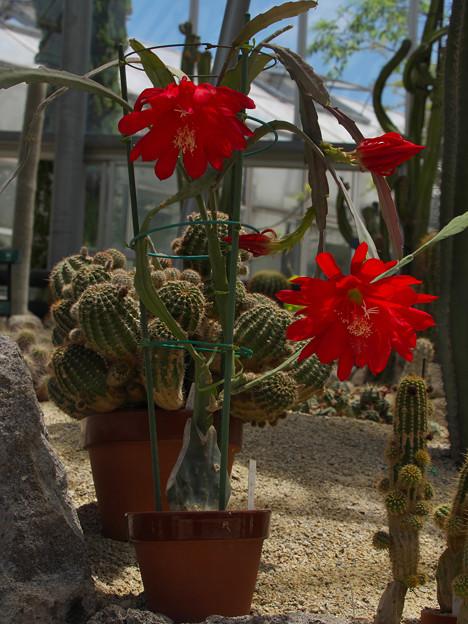サボテンの花19-3