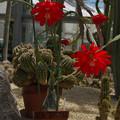 写真: サボテンの花19-3