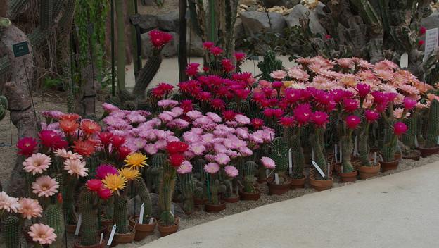 サボテンの花19-4