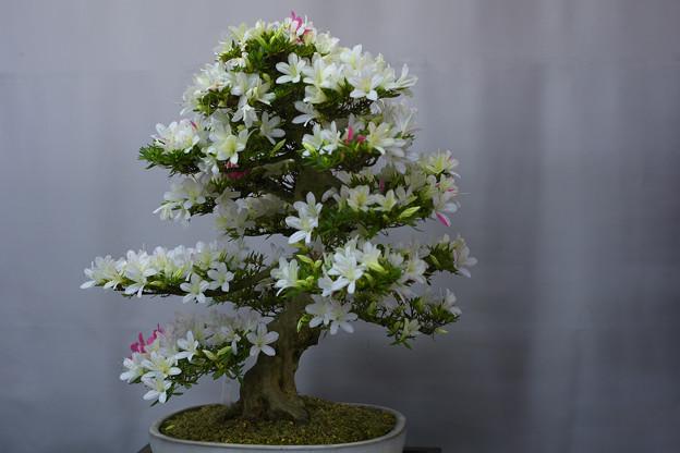 サツキ盆栽展3-4