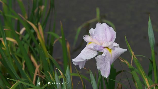 花菖蒲4-6(春 眠)