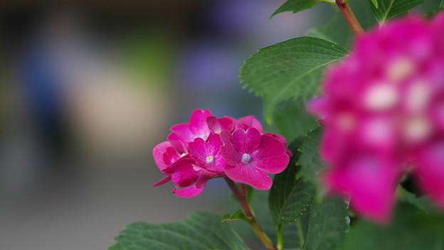 紫陽花6-1