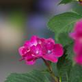 写真: 紫陽花6-1
