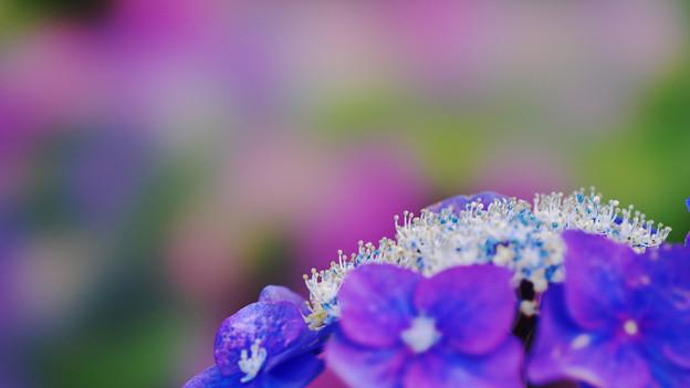 紫陽花6-2