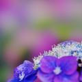 写真: 紫陽花6-2