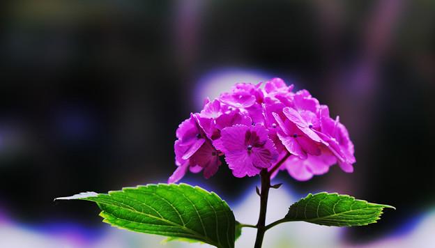 紫陽花6-4
